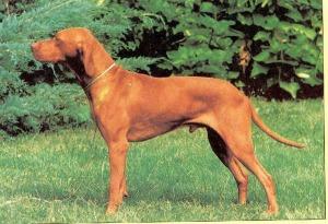 kilato teri furge mokany of helmlake as a young dog